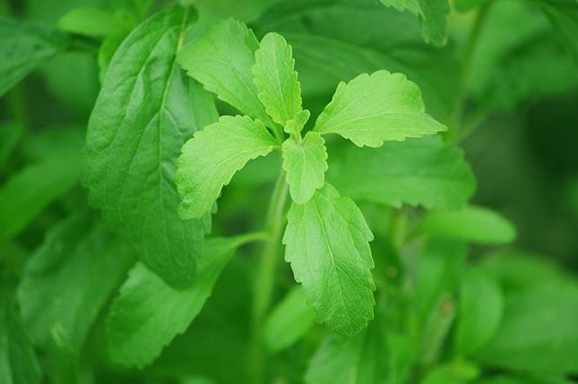 Le rebaudioside M (Reb M), est l'ingrédient naturel le plus sucré qui existe actuellement sur le marché.