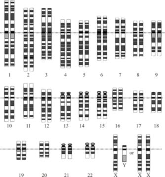 The human genome comprises all the information carried on our 23 pairs of chromosomes.