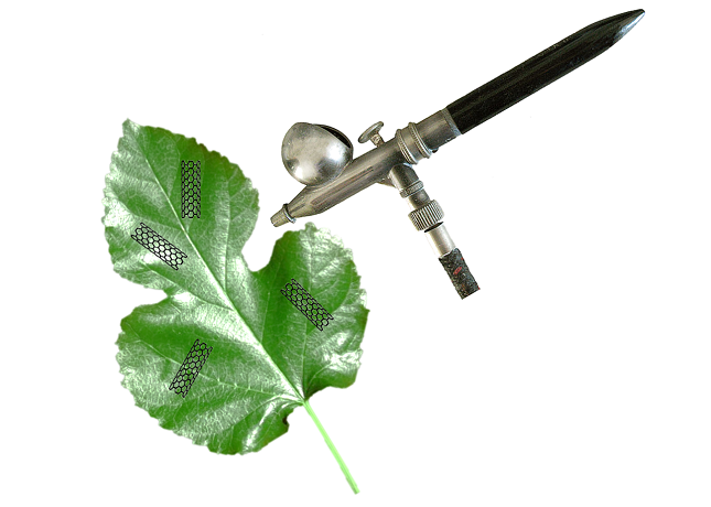 The deposition of the solution of carbon nanotubes or graphene in the Mulberry leaves.