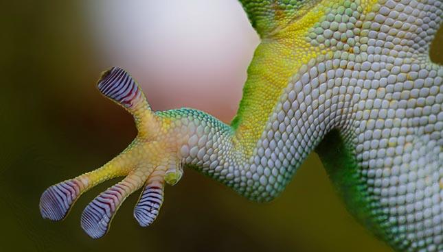Le gecko a inspiré la création d'un nouvel adhésif photosensibile