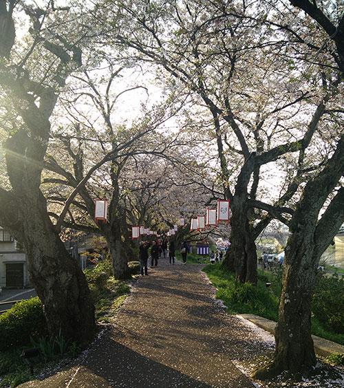 Fukui Sakura au Japon