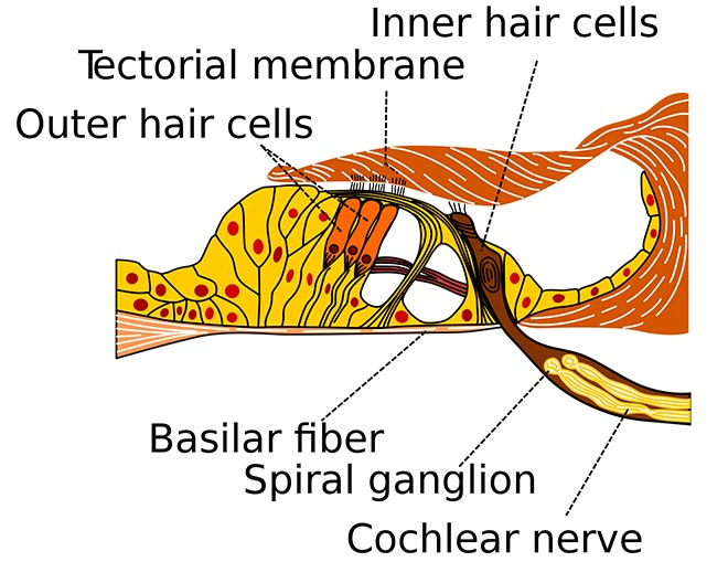 The outer hair cells emits otoacoustic emissions