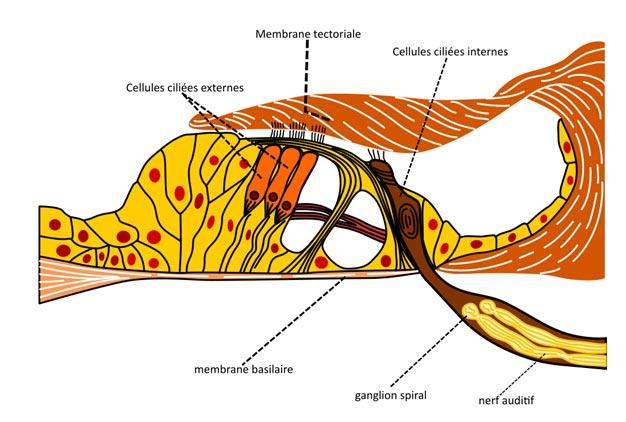 Les cellules ciliées externes émettent des émissions otoacoustiques