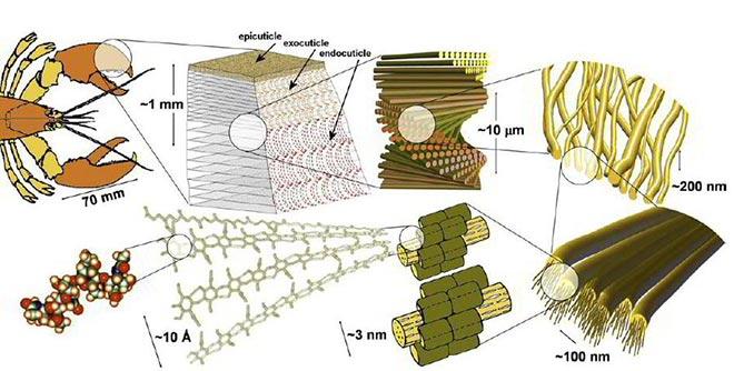 Exosquelettes de crustacé