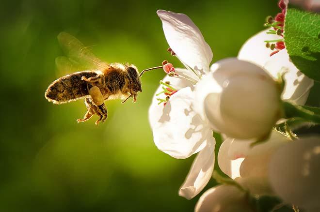 abeille polonisant une fleur